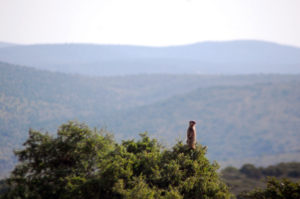 Lone meercat sitting on scrub overlooking valley in South Africa