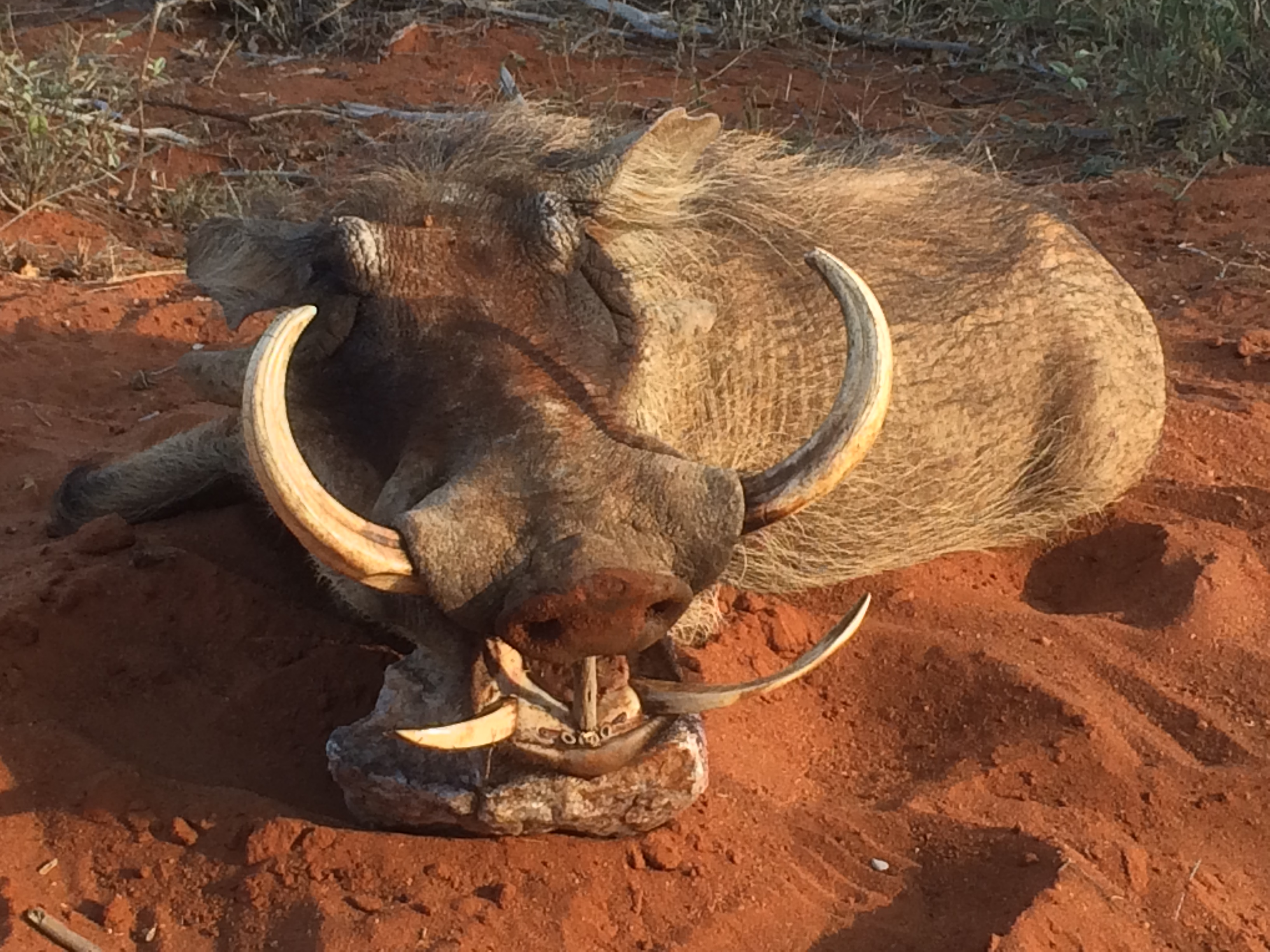 Tims Amazing Warthog Trophy