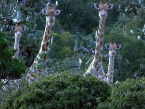 Giraffe Family on hillside in South Africa