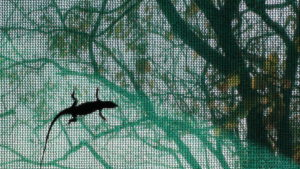 Lizzard on tent screen in Zimbabwe