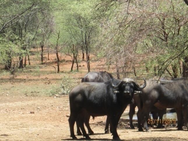 buffalo herd sondelani hunting camp