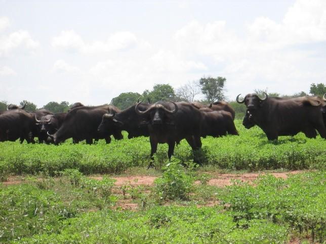 zimbabwe cape buffalo herd