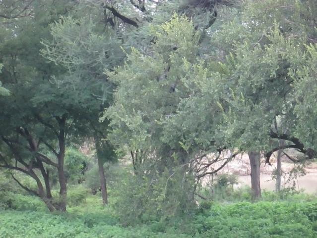 lush forestry surrounds the embankment of the mtshabezi river in zimbabwe