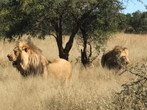 Male lions in South Africa